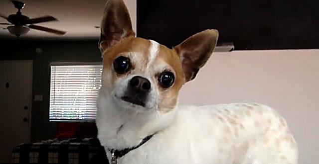 Чихуахуа со стоячими ушами