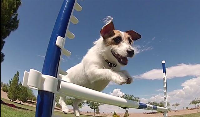 Эта собака - прирожденный спортсмен