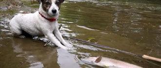 Джек-рассел-терьер на рыбалке