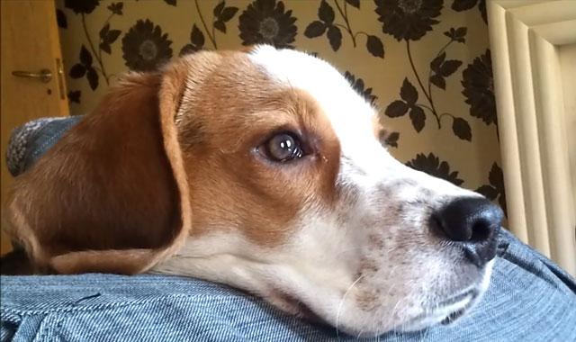 Собака породы бигль