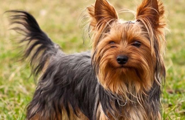 У собак с нестандартным окрасом нет шансов на выставках