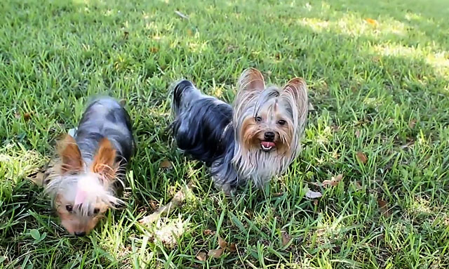 Выгуляйте собак перед вязкой
