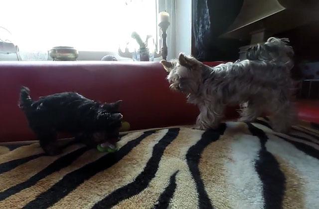 Йорки хорошо уживаются с другими животными