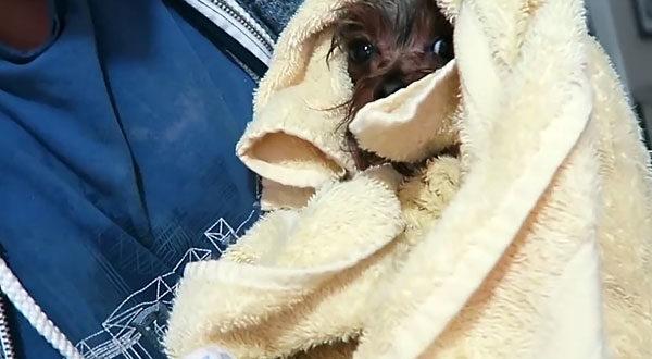 Мокрый йоркширский терьер в полотенце