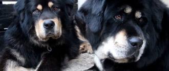 Два тибетских мастифа