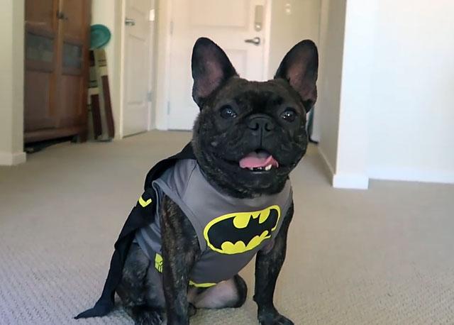 Французский бульдог в костюме Бэтмена