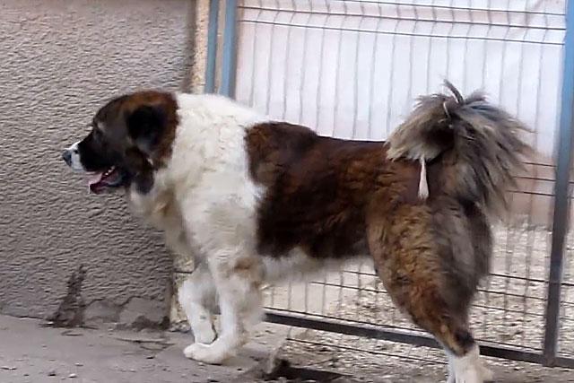 Это крупные и мощные собаки