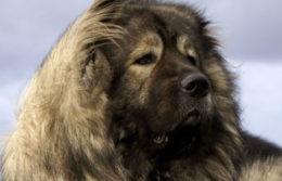 Характеристика породы кавказская овчарка