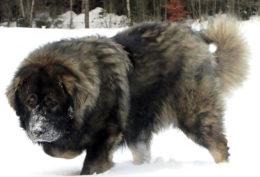 Кавказская овчарка в собачьих боях