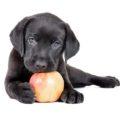 Лабрадор и яблоко