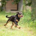 Ротвейлер бежит по траве