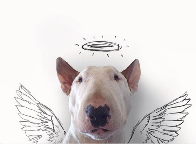 ангел бультерьер