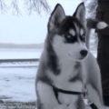 Сибирская хаски фото2
